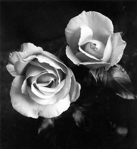26412eef5 Two Roses | HUNI SA DAPLIN